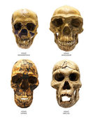 Fossil skull of Homo Erectus, Homo Sapiens, Homo Neanderthalis and Homo Antecessor — Stock Photo