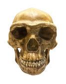 Fossil skull of Homo Antecessor — Stock Photo