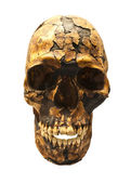 Fossil skull of Homo Sapiens — Stock Photo