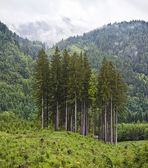 Group of conifer trees in mountain landscape — Stock Photo
