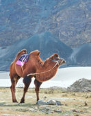 Double humped camel — Stock Photo