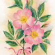 Watercolor pink flowers of a dogrose. — Stock Photo