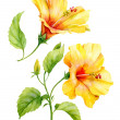Watercolor yellow hibiscus — Stock Photo #38393447