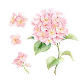 Watercolor pink hydrangea. — Stock Photo