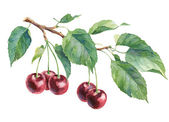 Watercolor Isolated object. Cherries on a white background. — Stock Photo