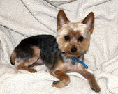 Yorkie 1402 — Stock Photo