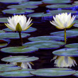 Foto Stock: Twin Lotus Blossoms