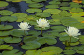 Triple Lotus — Stock Photo