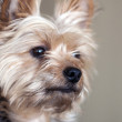 Yorkie 4727 — Stock Photo