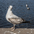 Gull 5087 — Stock Photo #22918956
