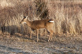 White Tail Deer 3736 — Stock Photo