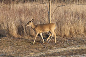 Young Deer 3737 — Stock Photo