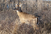 Deer 5171 — Stock Photo