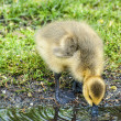 Thirsty Gosling — Stock Photo