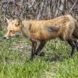 Mrs Fox 5689 — Stock Photo