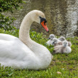 Swan and Cignets — Stock Photo
