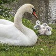 Mother Swan 5742 — Stock Photo