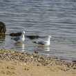 Gulls 4605 — Stock Photo #27014069