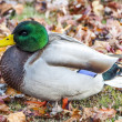 Stock Photo: Plump Mallard 6032