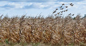 Cornfield and Geese — Stock Photo