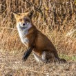 Female Fox 7295 — Stock Photo #38990813