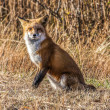 Stock Photo: Female Fox 7295