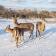 Group of Deer 7705 — Stock Photo