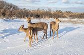 Group of Deer 7705 — ストック写真