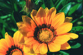 Two gazania rigens — Stock Photo
