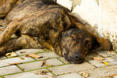 Old dog sleeping on the sidewalk — Stock Photo