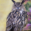 Spotted Eagle-Owl — Stock Photo