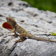 Brown Anole lizard displaying its dewlap — Стоковая фотография