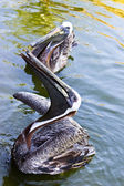 Pelican a large water bird of the Pelecanidae family — Stock Photo