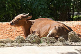 Kanteng, a wild cattle from Southeast Asia — Stock Photo