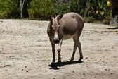 Sommali Wild Ass - Equus africanus somaliensis — Stock Photo