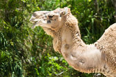 Dromedary camel also know as Arabian Camel and Indian Camel — Stock Photo