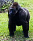 Western Lowlands Gorilla - Gorilla gorilla gorilla — Stock Photo