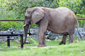 African Elephant - loxodonta africana — Stock Photo