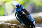 Turquoise Tanager - Tangara mexicana — Stock Photo