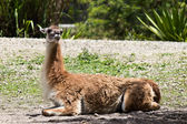 Guanaco - Lama guanicoev — Stock Photo