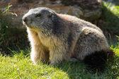A marmot looks curious hikers — Stock Photo