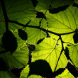 Backlit leaves — Stock Photo