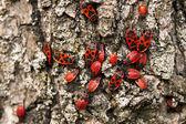 Firebug, pyrrhocoris apterus — Stock Photo