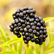 Black berry — Stock Photo