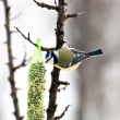 Blue tit — Stock Photo