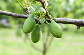 Green plums — Stock Photo