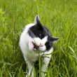 Stock Photo: Cat eating grass