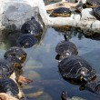 Stock Photo: Cute terrapins in water
