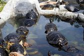 Cute terrapins in the water — Stock Photo