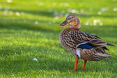 Blue Winged Teal Duc — Stock Photo